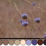colour_scheme_field_knapweed