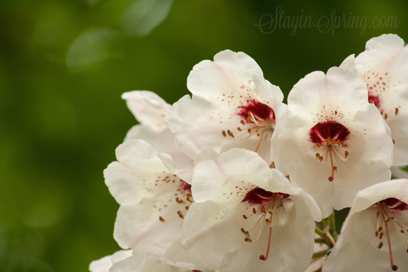 rhododendron in Babite, Latvia