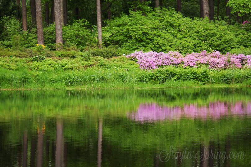 Rhododendrons of Babite, Latvia